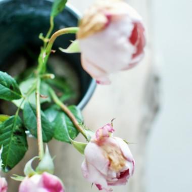 zerwałam ostatnie pąki róży :)