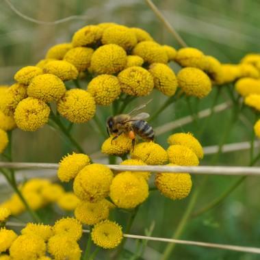 pszczółka zbiera miodek