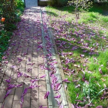 ..................po takim dywanie z płatków magnolii stąpałam dziś rano...............