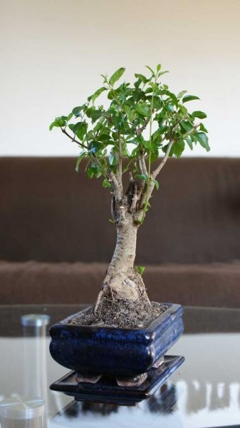 Rośliny, Rosliny w domu - Ligustrum Sinensis