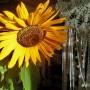 Rośliny, Jesienna galeria ...............z bombkami..... - .................i słoneczniki w wazonie.................
