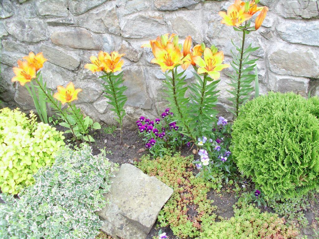 Pozostałe, Czerwcowy ogród - Lilie.narazie tylko taki kolor.