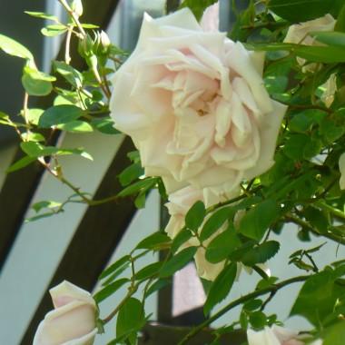 ................i róża..................