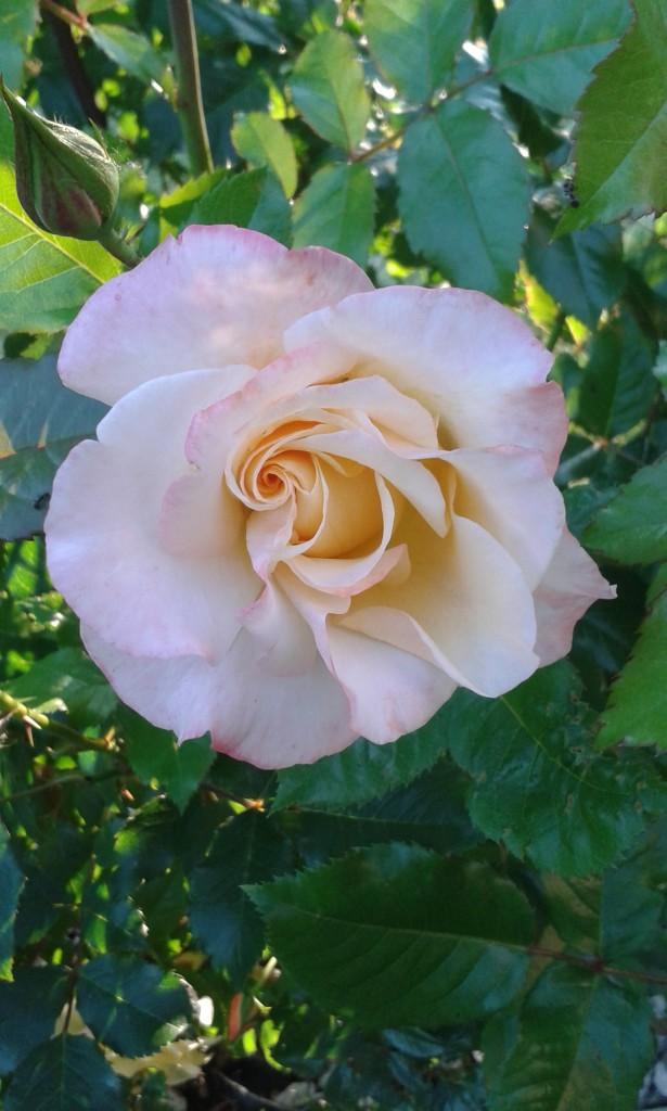 Rośliny, Po prostu róże...