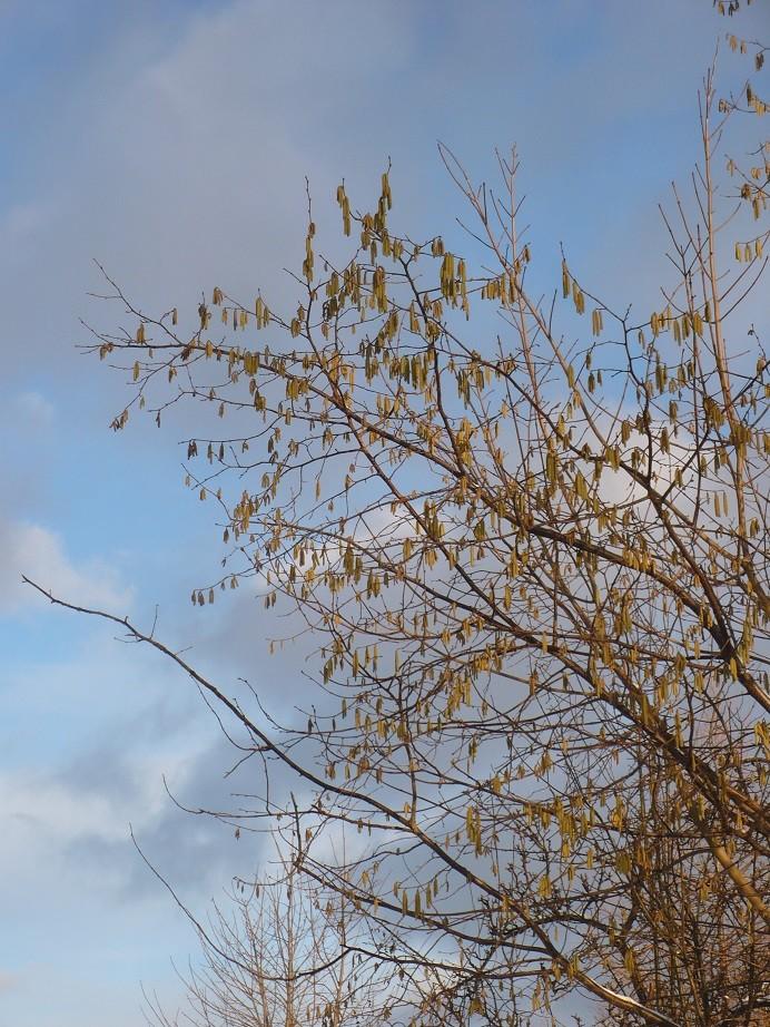 Pozostałe, Lutowa...............zimowa..............z damami.....i panami.. - ..............i błękit nieba.................i kwitnąca leszczyna...............