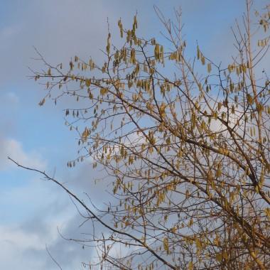 ..............i błękit nieba.................i kwitnąca leszczyna...............