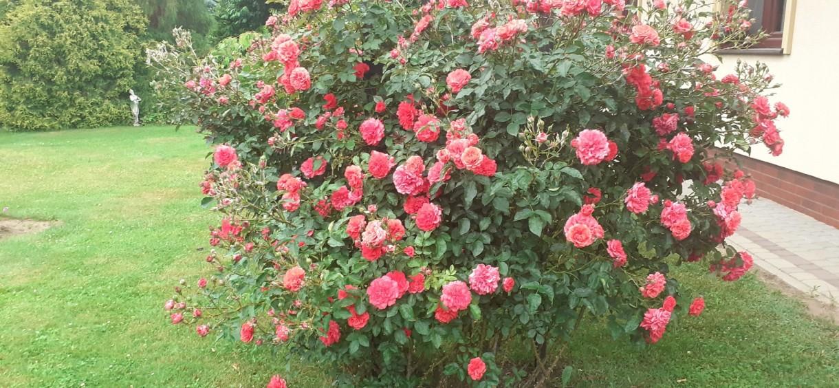 Ogród, Festiwal Róża 2020 :)