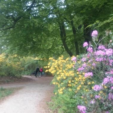 Tuż obok Rakotzsee => Arboretum w miejscowości Kromlau po stronie niemieckiej. Zapach azalii obecnie odużają zapachem :)))... nigdy wcześniej nic podobnego nie spotkałam!  Ścieżki pośród przeogromnej ilości azalii i rododendronów!!!