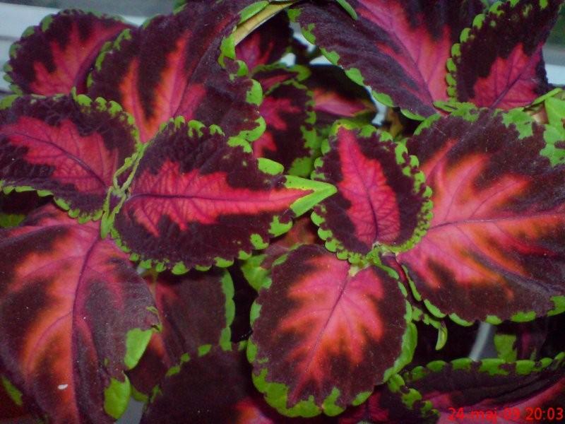 Rośliny, ROŚLINY DOMOWE - Koleus Blumego-Pokrzywka