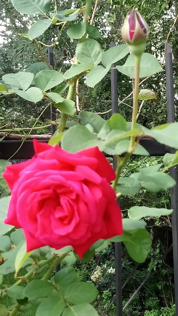 Rośliny, Wrześniowe fotki.................... - ................i róża................