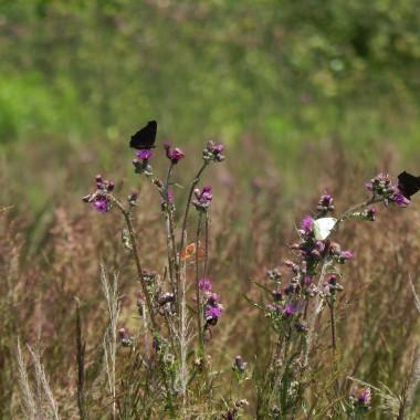 """Piękno natury...naturalnie,bez wysiłku i zbędnych starańzawsze zachwycająca .O każdej porze roku.Urzeka prostotą,barwą,formą i delikatnością.Kwiaty łąkowe,zioła,motyle,ptaki dla nich poświęcam wiele czasu w trakcie moich fotograficznych """"wypraw""""Dla nich czas odmierza zegar biologiczny i płynie,upływaA ja zatrzymuję w moim obiektywie chwile ,zaledwie milisekundy albo nanosekundy z ich życia bo nie da się więcej...Być bliżej natury,obserwować,podglądać i fotografować to jakby mieć mniej ażyć więcej...na 100% w zgodzie z naturą i samym sobą .Chłonę zapach i wilgoć lasów aż skręcają się włosy...I w słońcu i we mgle buszuję po lasach i nieużytkach.Czasami jest nieciekawie bo pełza zaskroniec albo żmija .Są chwile strachu i zagrożenia.Czego szukam?Niczego.Okiem uzbrojonym w obiektyw lub gołym okiem widzę to czego wielu ludzi nie widzi.Takie obcowanie z naturą wyzwala pozytywne emocje i daje szczęście.Spróbuj:)"""