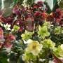 Rośliny, HELLEBORUS