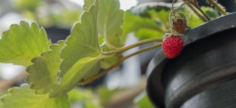 Świeże owoce z własnego ogrodu