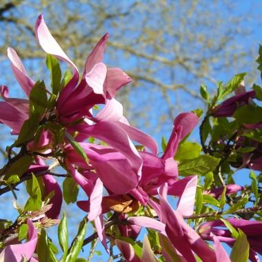 ................i magnolia............
