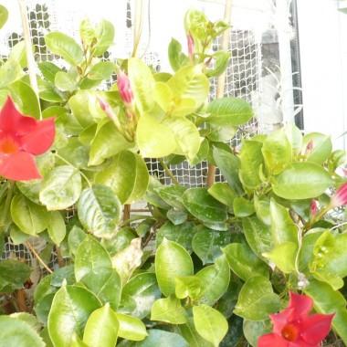..................i moje kwiatki na balkonie , ciągle kwitną, jeszcze nie zabrałam ich do domu.................