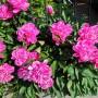 Rośliny, Czerwcowe róże ................. - ...............i piwonia................