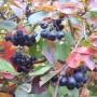 Pozostałe, Jesień w moim ogrodzie/tarasie - Nie ma jesieni bez aronii!