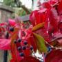 Rośliny, Wrześniowe fotki.................... - ................i dzikie wino...................