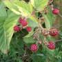 Rośliny, Rajskie jabłuszka .........i....... angielskie róże............. - ................i jeżyny...............dojrzewają............