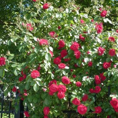 ..............i obficie kwitnący krzew róży...................