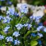Ogród, Te rośliny to balkonowy hit na wiosnę - Niezapominajki.