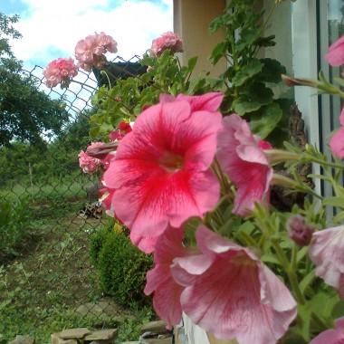 Codziennie więcej kwiatów się rozwija w ogródeczku, a i warzywnik nie pozostaje w tyle i za niedługo będą pomidorki swoje.