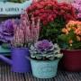 Rośliny, Jesienne kwiaty na balkon - Na podium nadal utrzymują się wrzosy. Te proste a jednocześnie bardzo dekoracyjne rośliny pomogą nam stworzyć piękny wystój balkonu w stylu prowansalskim, romantycznym czy vintage.  Doniczka do wrzosów nie musi być wysoka – wrzosy mają dość płytki system korzeniowy. Osłonki możemy wsadzić do małych koszyczków czy innych dekoracyjnych pojemników, pamiętając, by osłonka posiadała otwory na dnie – wrzosy marnieją, gdy są przelane. Trzeba je jednak podlewać regularnie wodą z małą zawartością wapna. Ziemia dla wrzosów powinna być kwaśna, o o pH wynoszącym 4 – 5,5 – śmiało możemy zastosować podłoże do rododendronów.  Fot.123RF.com