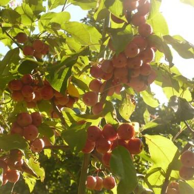 ...............i rajskie jabłuszka................