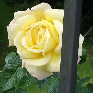 ................i róża..............