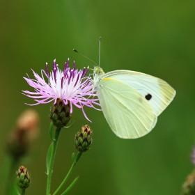 Apteka w ogrodzie: Ostrożeń - uprawa i właściwości