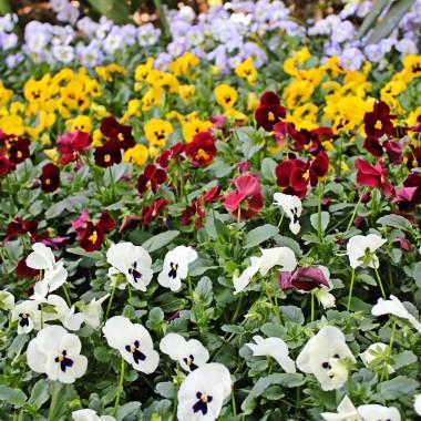 Bratki (fiolek ogrodowy)Bratki kwitną bardzo długo, bo od marca do czerwca. To rośliny dwuletnie, więc kwiaty pojawiają się zazwyczaj w następnym roku po posadzeniu. Zanim zdecydujemy się na zakup bratków, sprawdźmy, czy nie mają przesuszonego podłoża i nie są zaatakowane przez żadne szkodniki. Koniecznie zwróćmy uwagę na to, czy delikatne łodyżki rośliny nie są połamane. Najlepiej wybierać rośliny, które dopiero będą kwitły - powinny mieć zawiązanę pąki. Do sadzenia bratków najlepiej wykorzystać donice tradycyjne lub podłużne skrzynki.