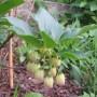 Rośliny, KWIATY - Ekiant dzwonkowaty,krzew.