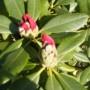 Pozostałe, Moje własne leśne lato... - Mój ukochany rododendron..