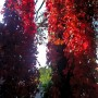 Rośliny, Jesienna galeria ...............z bombkami..... - ..................i girlandy z dzikiego wina................