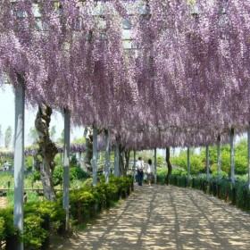 pnącze, wisteria, angielski ogrówd