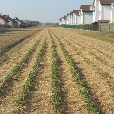 pole tulipanów - taki mam widok, jak idę po młodego do szkoły