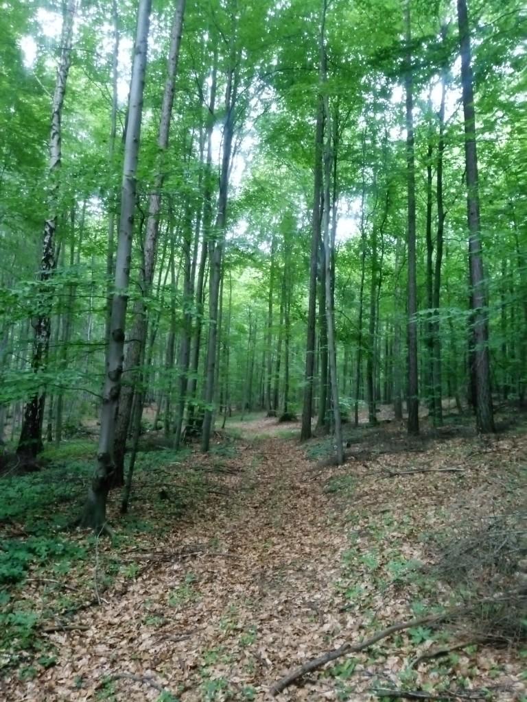 Leśne klimaty, Las bukowy