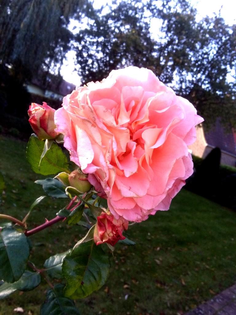 Róża, królowa kwiatów .....