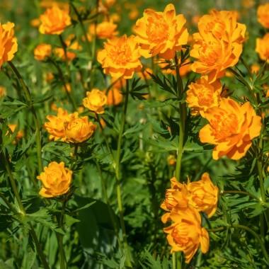 Pełniki (jaskry)To kwiaty idealne na wiosnę. Lubią chłód (znoszą temperaturę do -1 st. C.) i jasne miejsca. Uważajmy, żeby ich nie przelać, gdyż nadmiar wody w podłożu powoduje, że korzenie łatwo gniją. Gdy co dwa tygodnie zasilimy je nawozem wieloskładnikowym, na pewno będą długo kwitły. Na balkonie prezentują się doskonale!