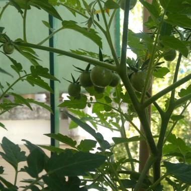 pomidorki jeszcze zielone, ale już wkrótce...