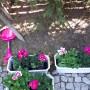 Ogród, Ogród wiosną... - Pelargonie jak co roku wędrują w skrzynki na taras