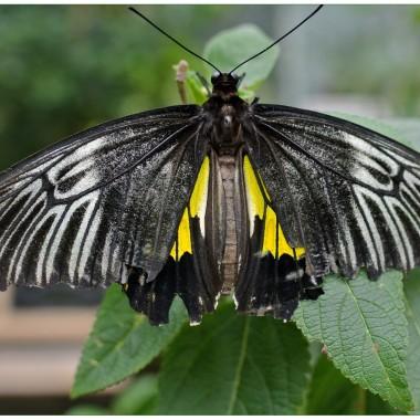 Troides rhadamanthus (Birdwing)