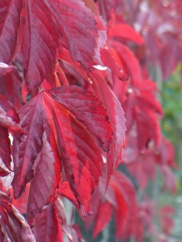 Pozostałe, Galeria jesienna.................październikowa............. - ...............i czerwone dzikie wino............