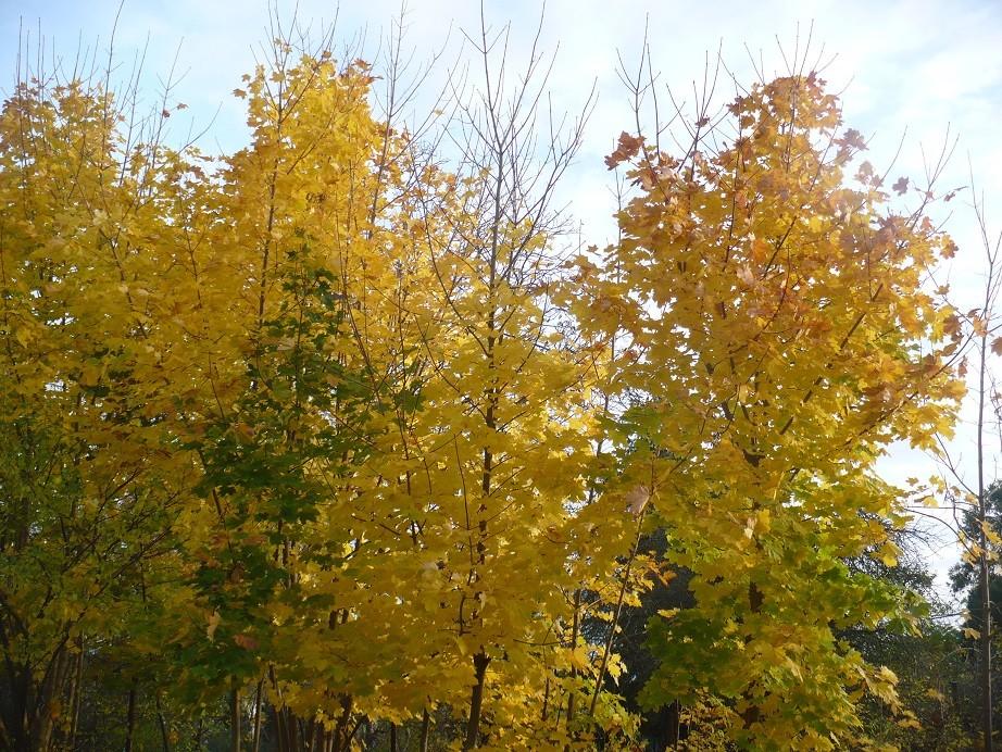 Pozostałe, Listopadowe małe radości................ - ...........i złote klony................