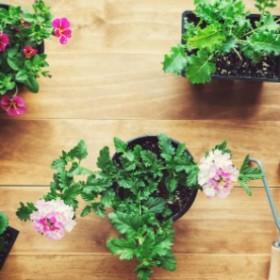 Najważniejsze zasady przesadzania roślin doniczkowych