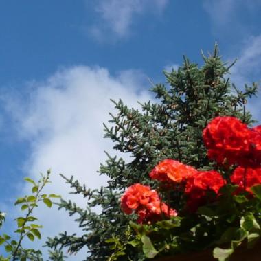 .................i pelargonie w niesamowitym czerwonym kolorze.................