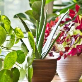 Aloes - charakterystyka, uprawa i właściwości