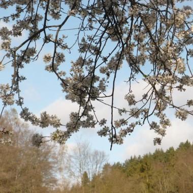 ..........i białe kwiecie w Dolinie Mimozy jeszcze mało zielonej...........