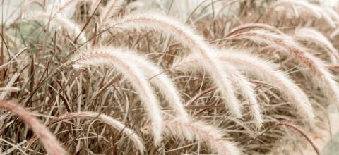 Kiedy i jak zabezpieczyć trawy ozdobne na zimę?