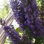 Pozostałe, Letnie klimaty................ - ................i fioletowa szałwia...............
